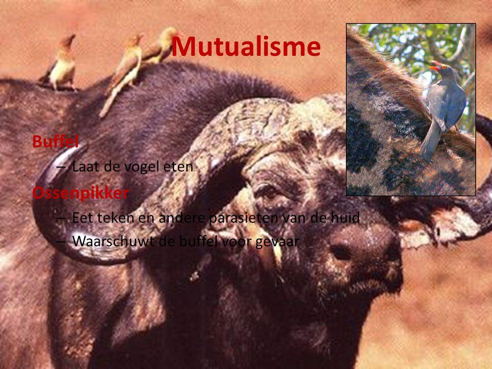 Mutualisme Buffel Ossenpikker Laat de vogel eten
