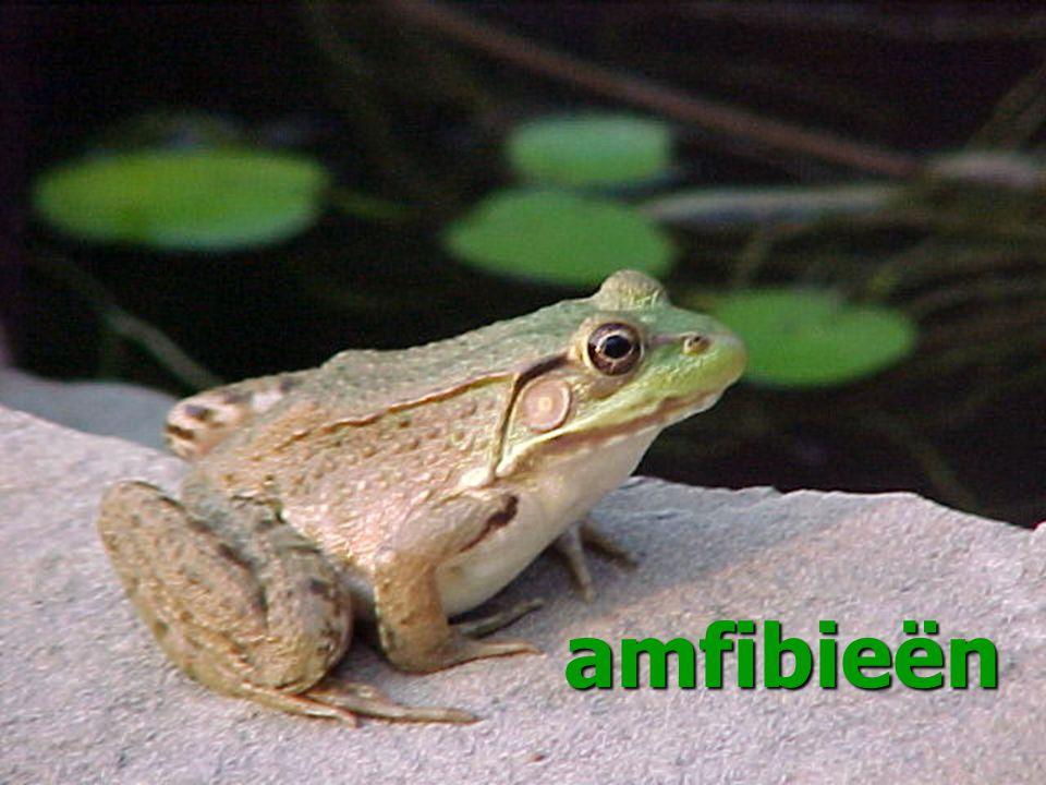 amfibieën