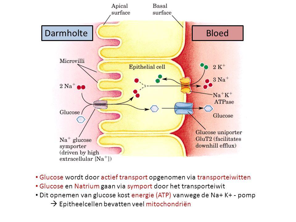 Darmholte Bloed. Glucose wordt door actief transport opgenomen via transporteiwitten. Glucose en Natrium gaan via symport door het transporteiwit.
