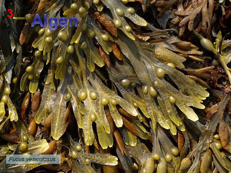 3 Algen Fucus vesiculosus