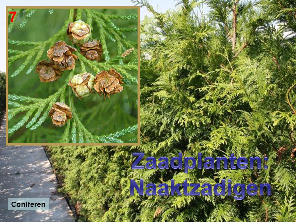 Zaadplanten: Naaktzadigen