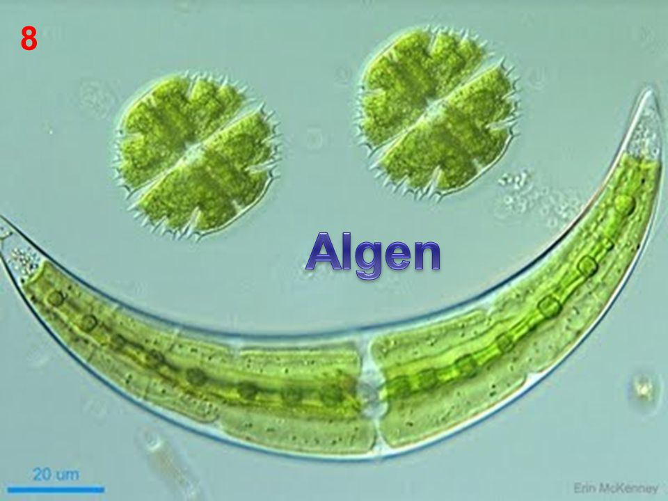 8 Algen