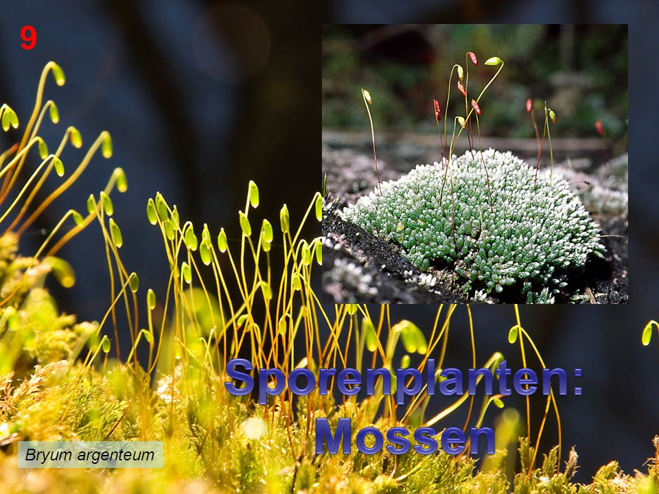 Sporenplanten: Mossen