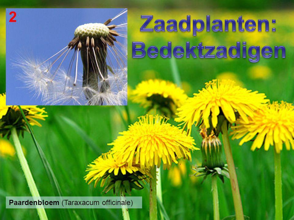 Zaadplanten: Bedektzadigen
