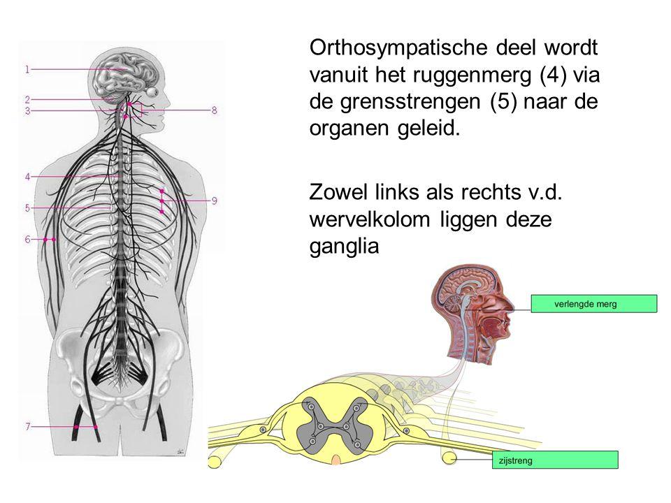 Orthosympatische deel wordt vanuit het ruggenmerg (4) via de grensstrengen (5) naar de organen geleid.