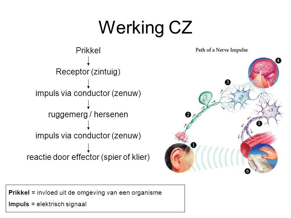 Werking CZ Prikkel Receptor (zintuig) impuls via conductor (zenuw)