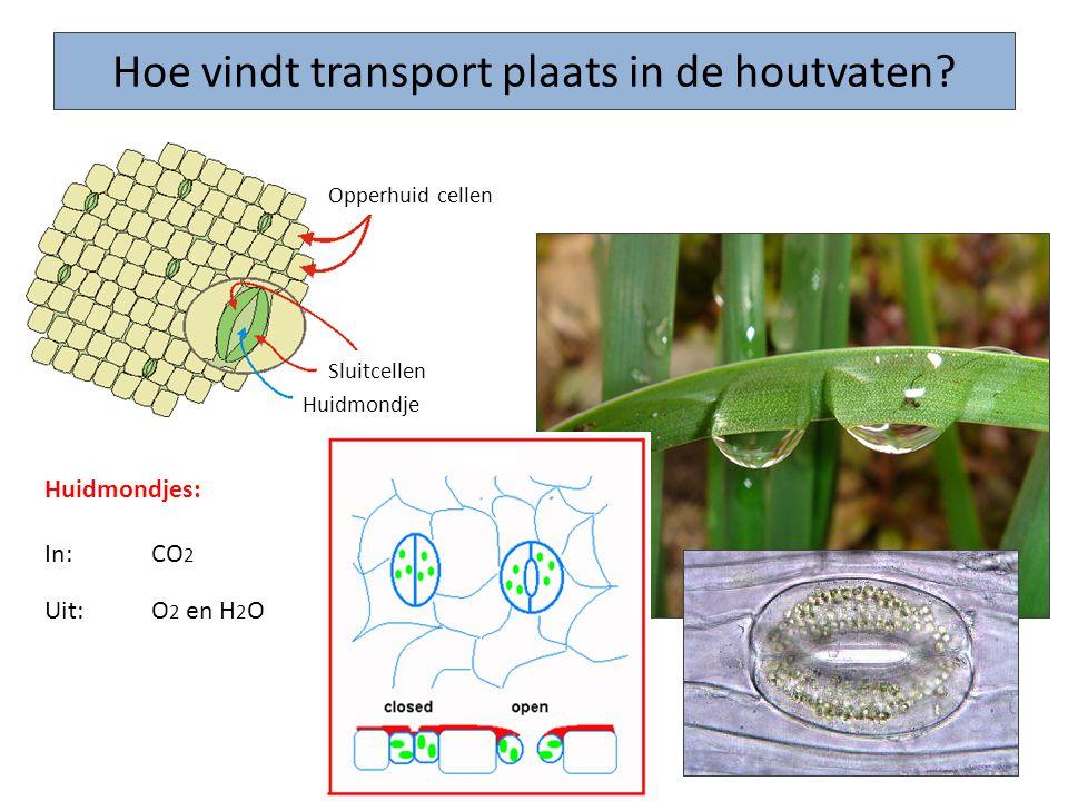 Hoe vindt transport plaats in de houtvaten