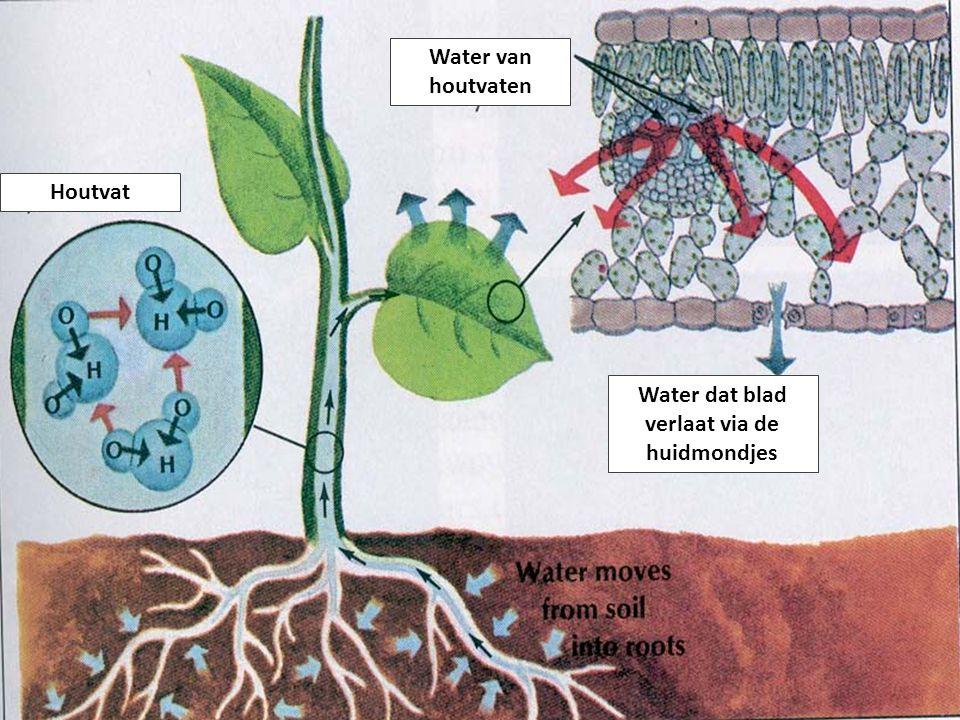 Water dat blad verlaat via de huidmondjes