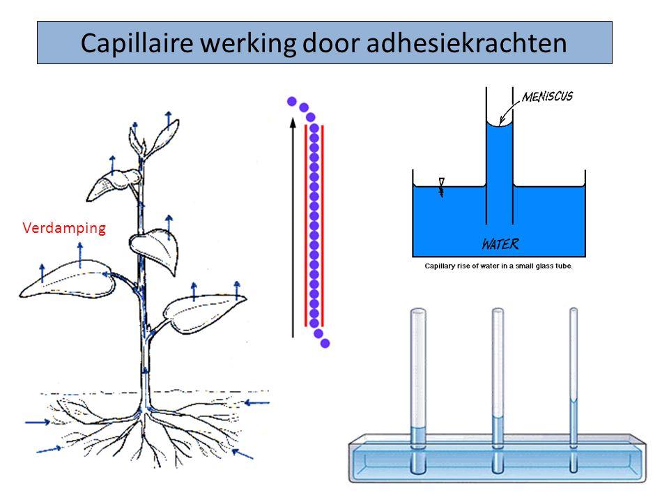 Capillaire werking door adhesiekrachten