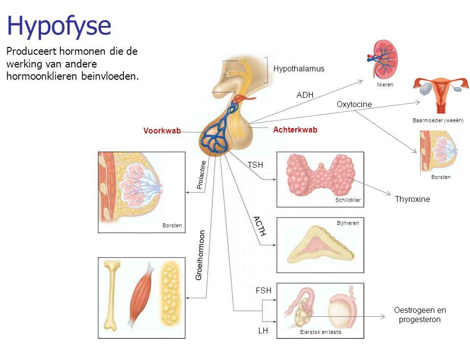 Hypofyse Produceert hormonen die de werking van andere hormoonklieren beinvloeden. Hypothalamus. Nieren.