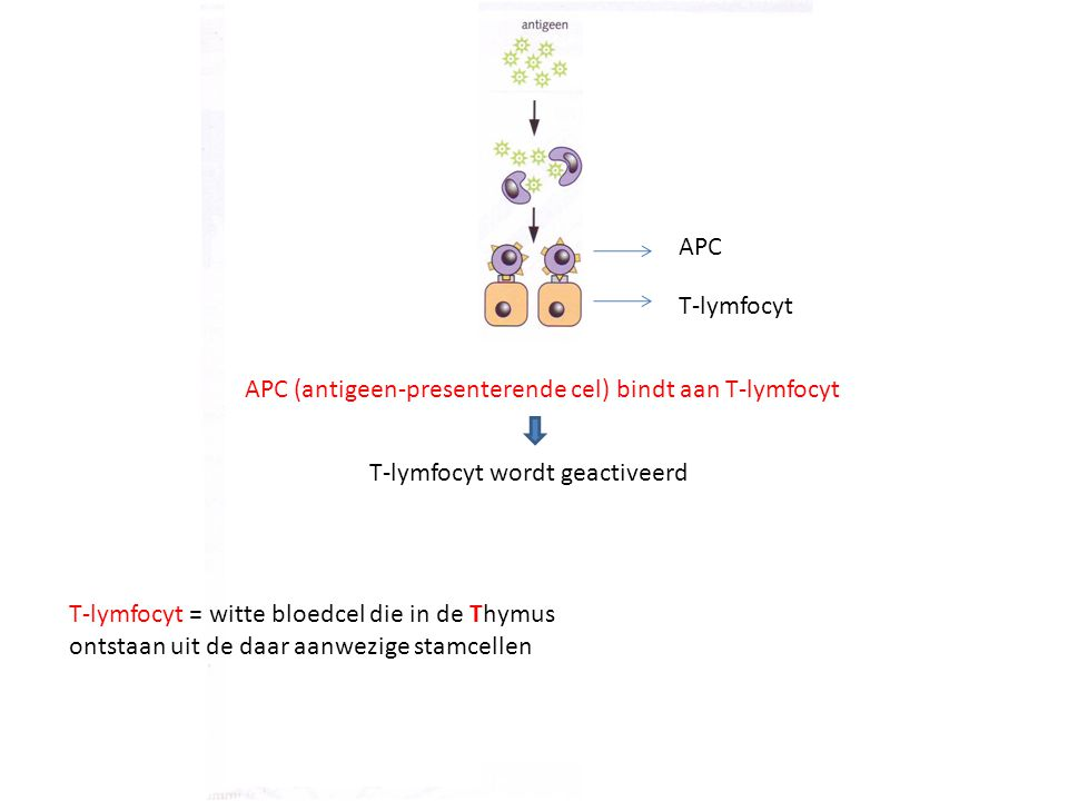 APC T-lymfocyt. APC (antigeen-presenterende cel) bindt aan T-lymfocyt. T-lymfocyt wordt geactiveerd.