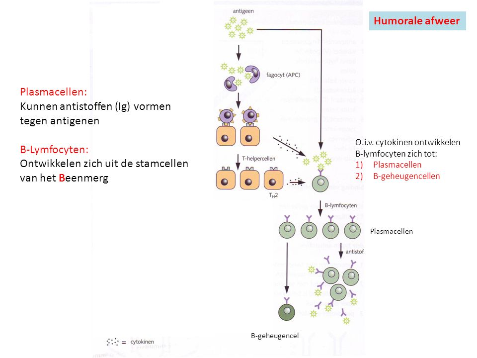Kunnen antistoffen (Ig) vormen tegen antigenen B-Lymfocyten:
