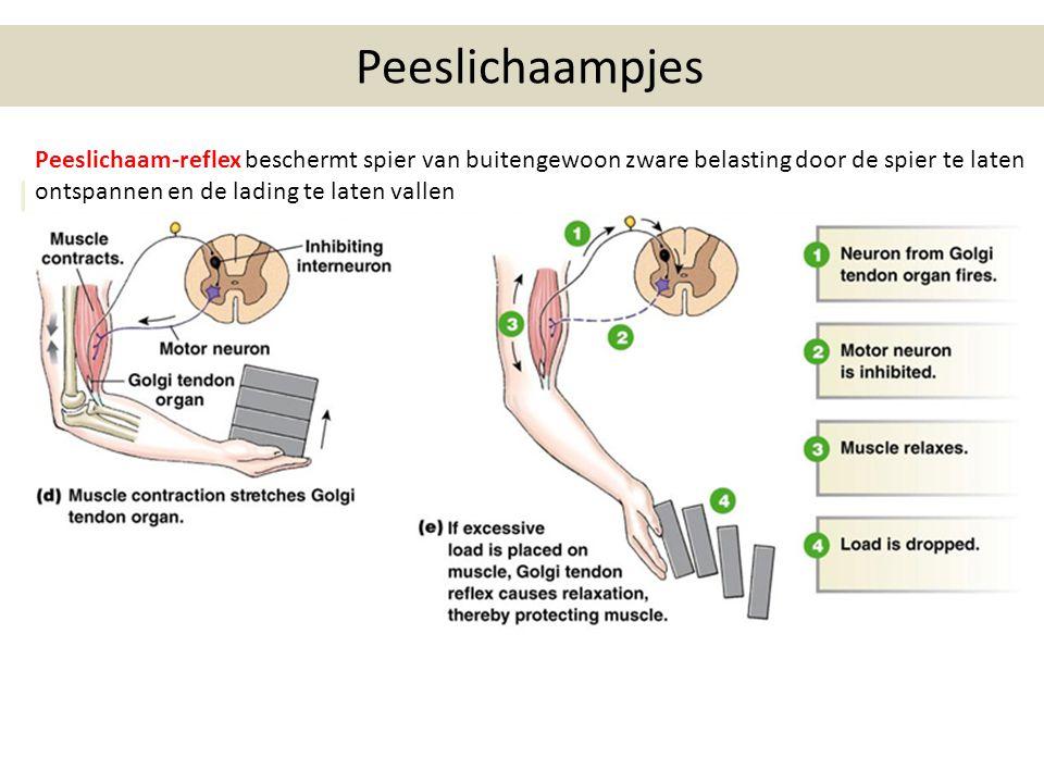Peeslichaampjes Peeslichaam-reflex beschermt spier van buitengewoon zware belasting door de spier te laten ontspannen en de lading te laten vallen.