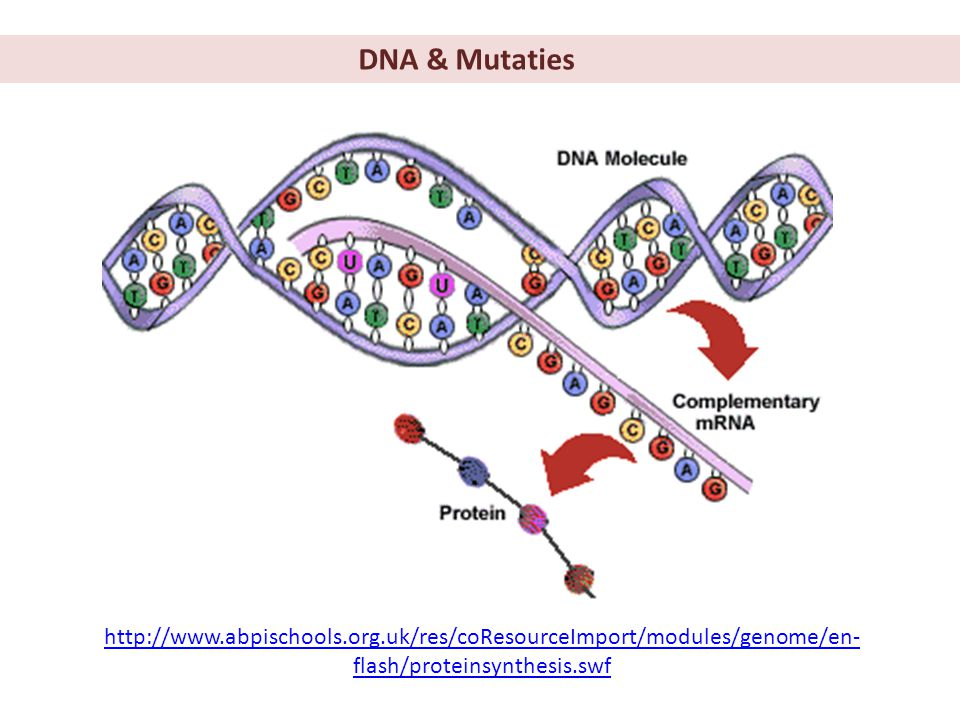 DNA & Mutaties http://www.abpischools.org.uk/res/coResourceImport/modules/genome/en-flash/proteinsynthesis.swf.