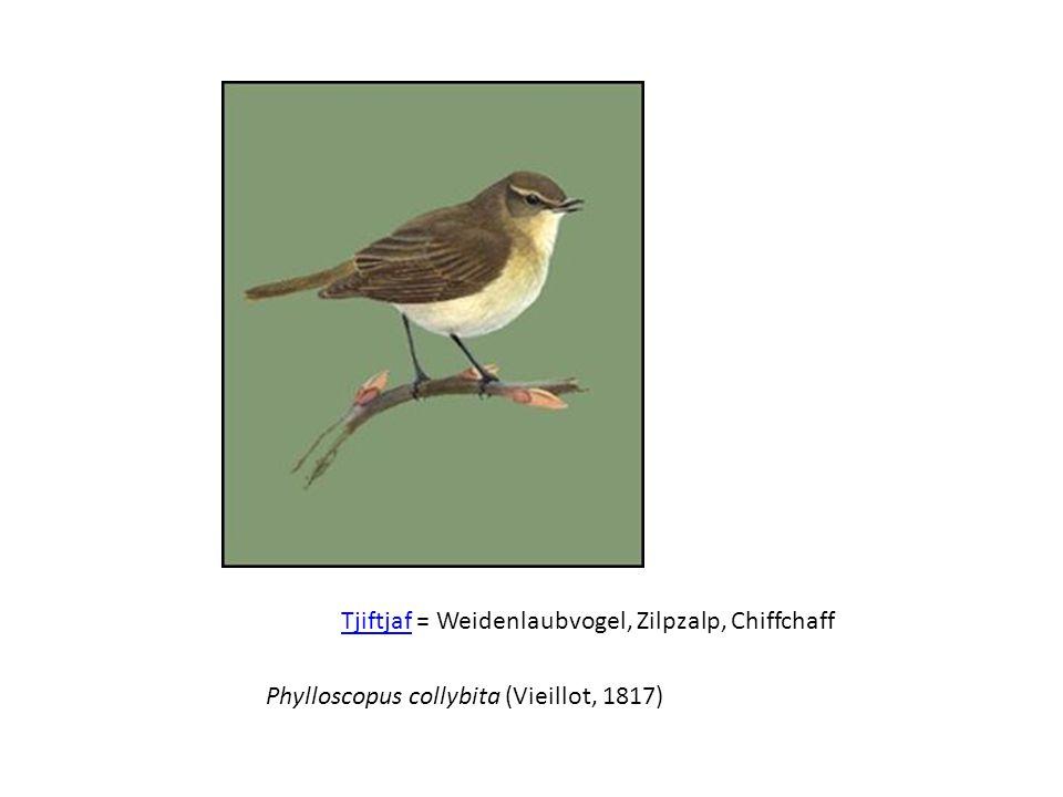 Tjiftjaf = Weidenlaubvogel, Zilpzalp, Chiffchaff