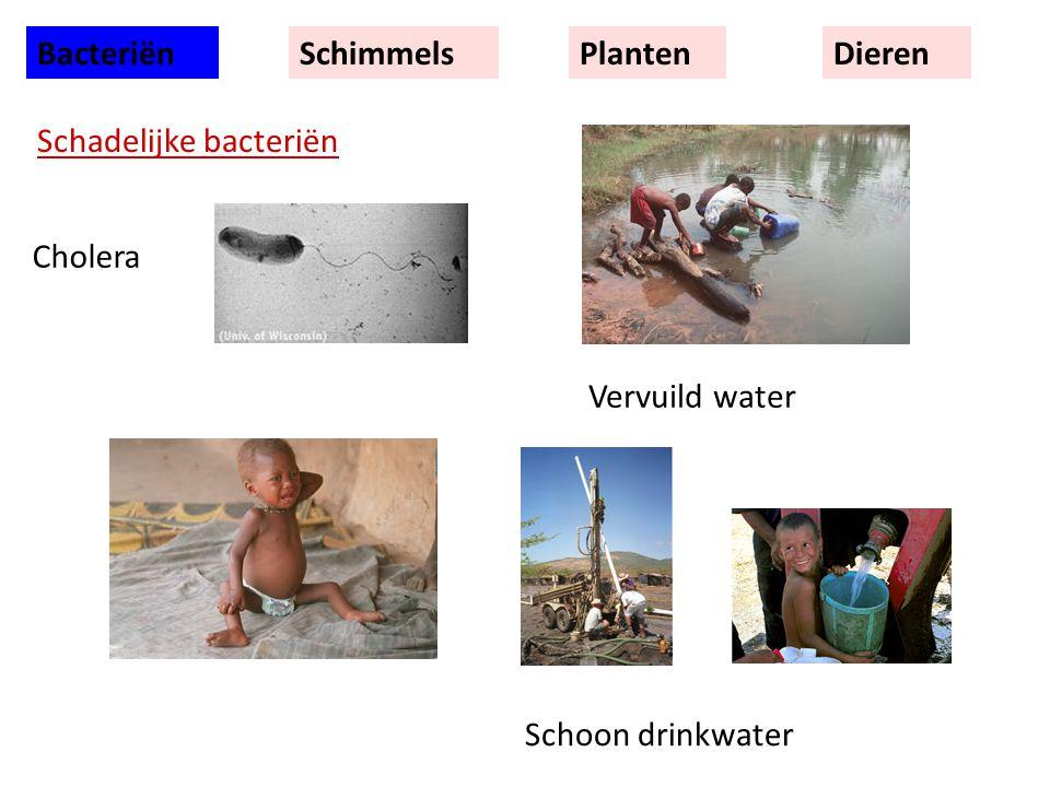 Bacteriën Schimmels Planten Dieren Schadelijke bacteriën Cholera Vervuild water Schoon drinkwater