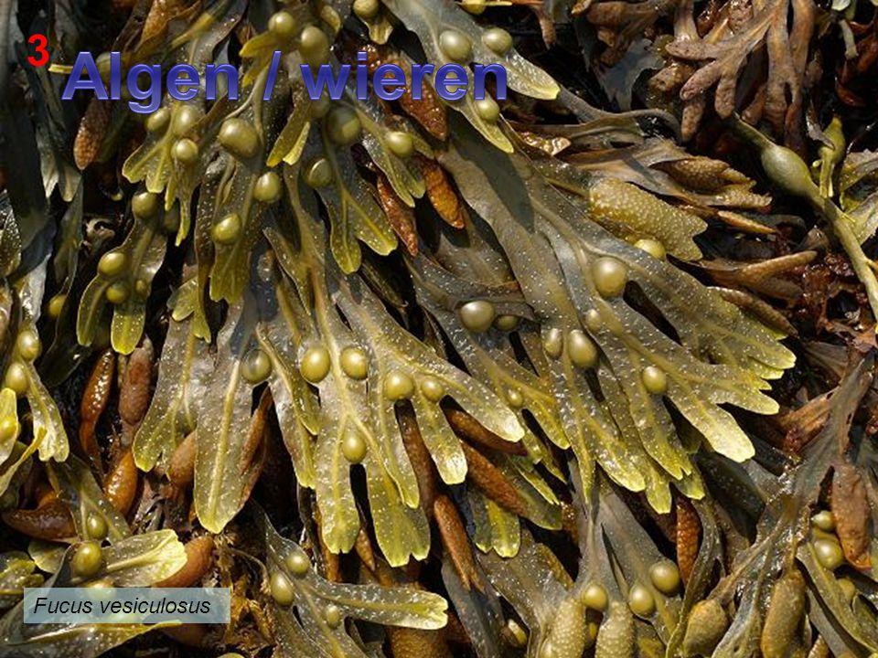 3 Algen / wieren Fucus vesiculosus