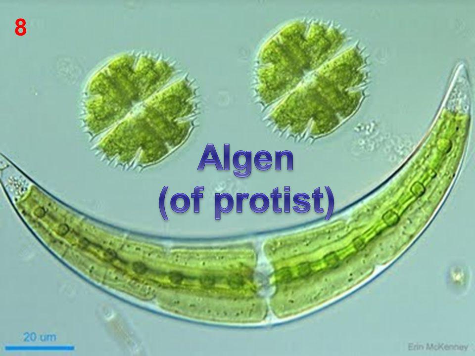 8 Algen (of protist)