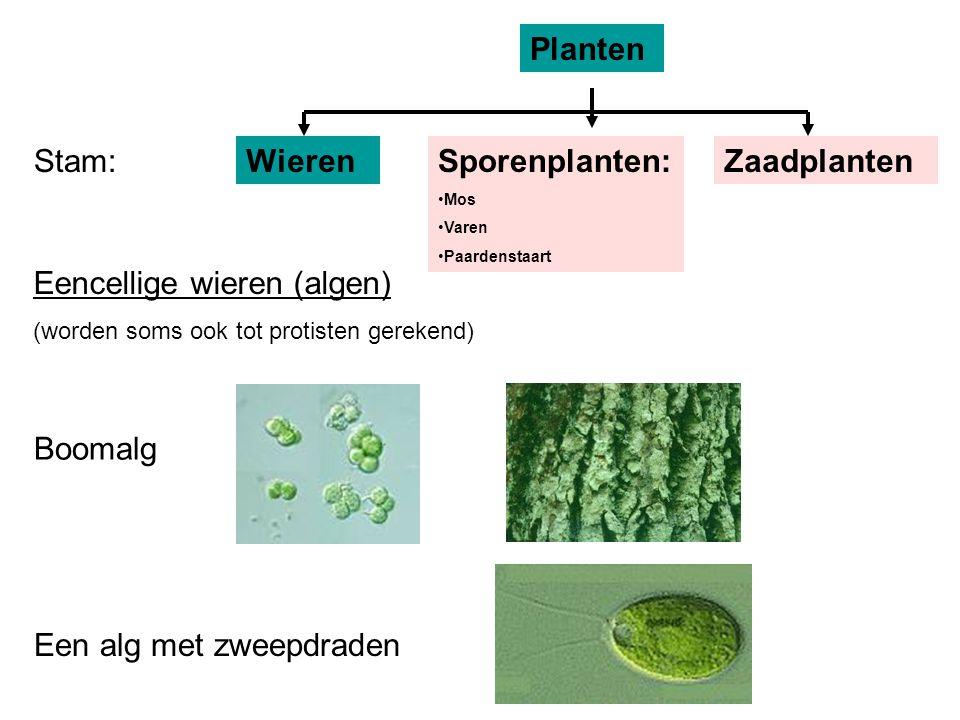 Eencellige wieren (algen)
