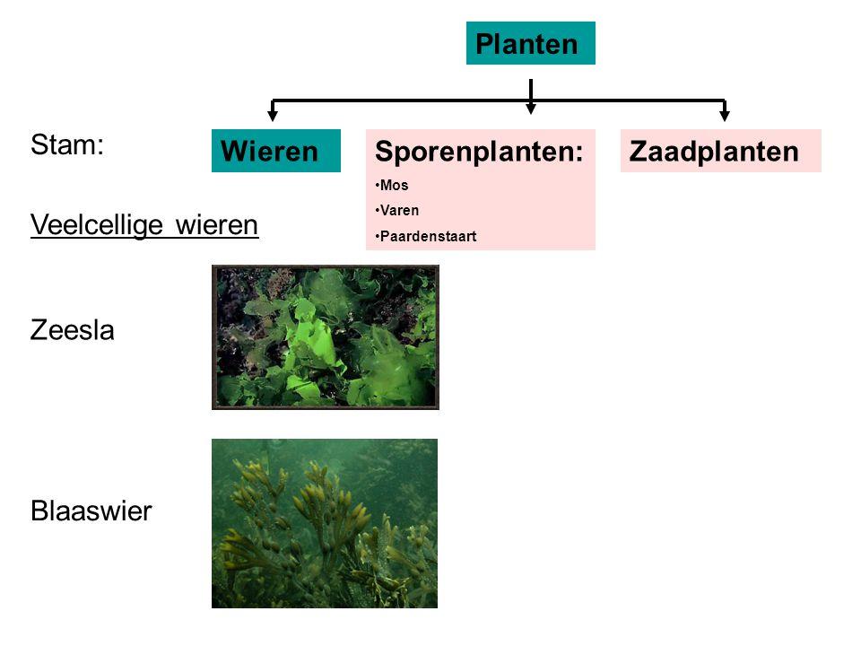 Planten Stam: Wieren Sporenplanten: Zaadplanten Veelcellige wieren