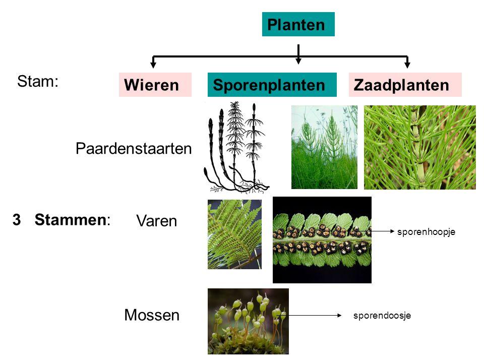 Planten Stam: Wieren Sporenplanten Zaadplanten Paardenstaarten