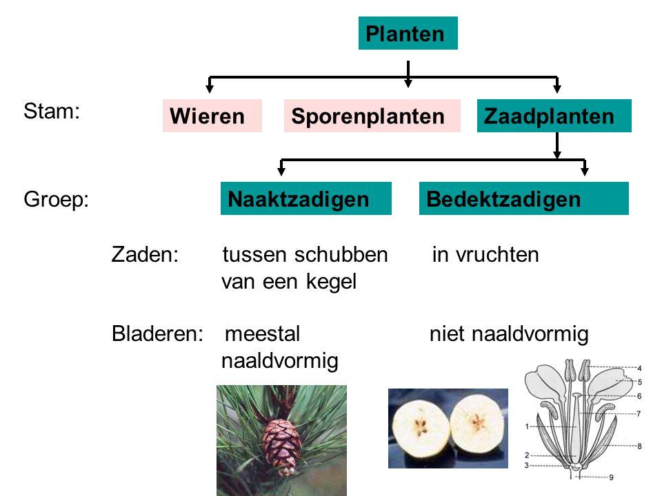 Planten Stam: Wieren. Sporenplanten. Zaadplanten. Groep: Naaktzadigen. Bedektzadigen.