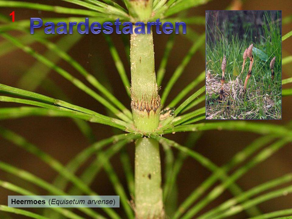 Paardestaarten 1 Sporenplanten Paardestaarten