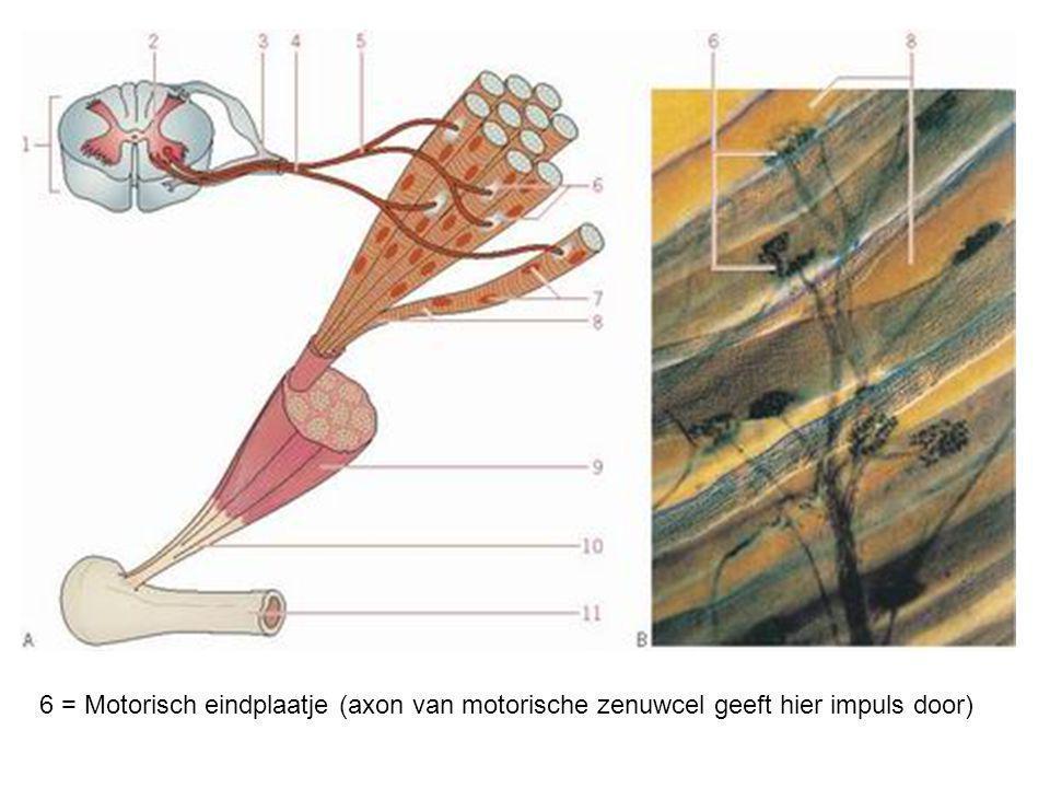 6 = Motorisch eindplaatje (axon van motorische zenuwcel geeft hier impuls door)