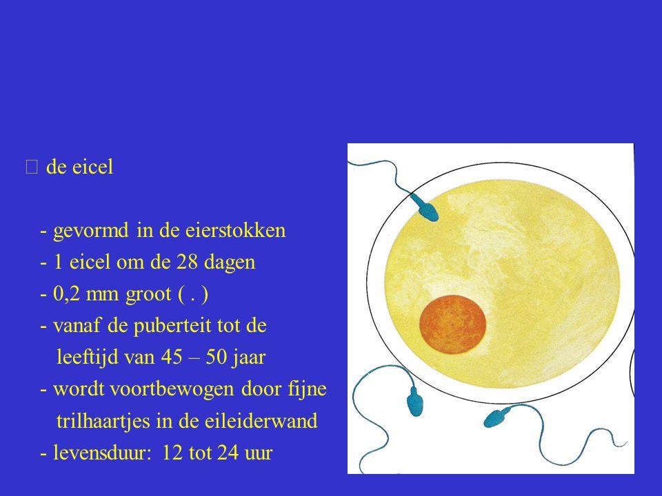  de eicel - gevormd in de eierstokken. - 1 eicel om de 28 dagen. - 0,2 mm groot ( . ) - vanaf de puberteit tot de.