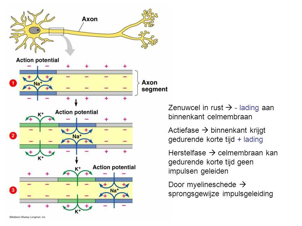 Zenuwcel in rust  - lading aan binnenkant celmembraan