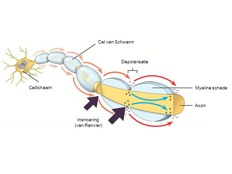 Cel van Schwann Depolarisatie Cellichaam Myeline schede Axon Insnoering (van Ranvier)
