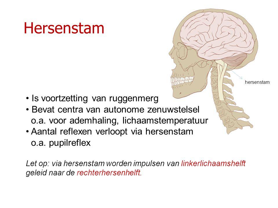 Hersenstam Is voortzetting van ruggenmerg