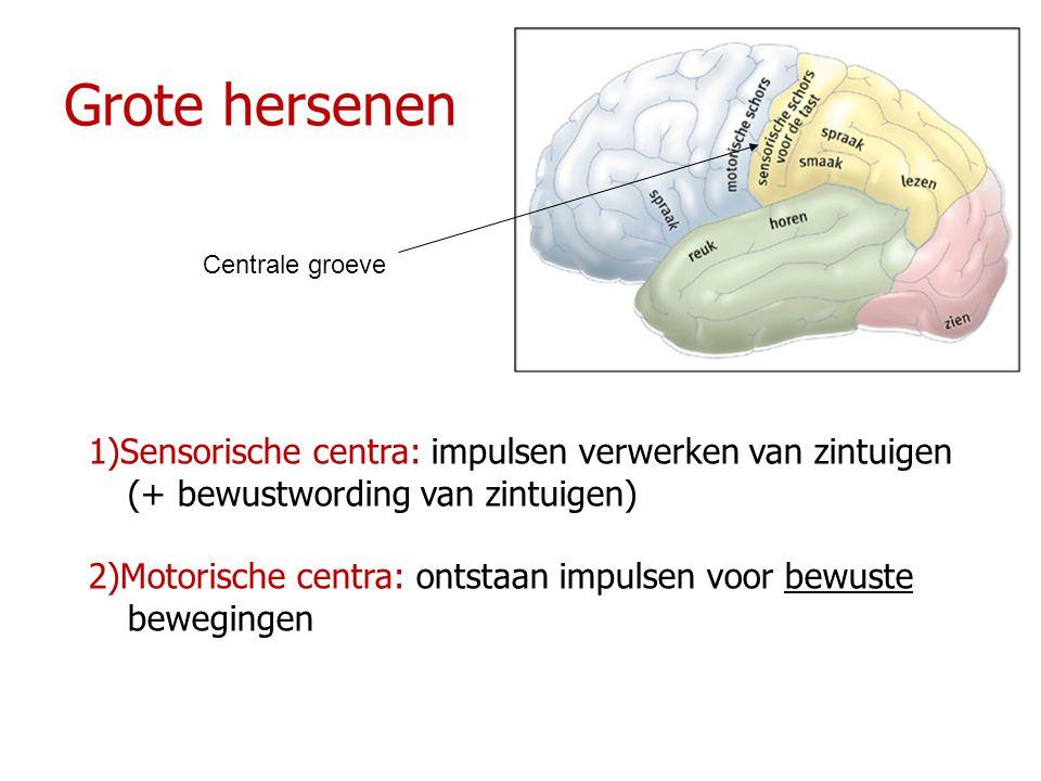 Grote hersenen Centrale groeve. 1)Sensorische centra: impulsen verwerken van zintuigen (+ bewustwording van zintuigen)