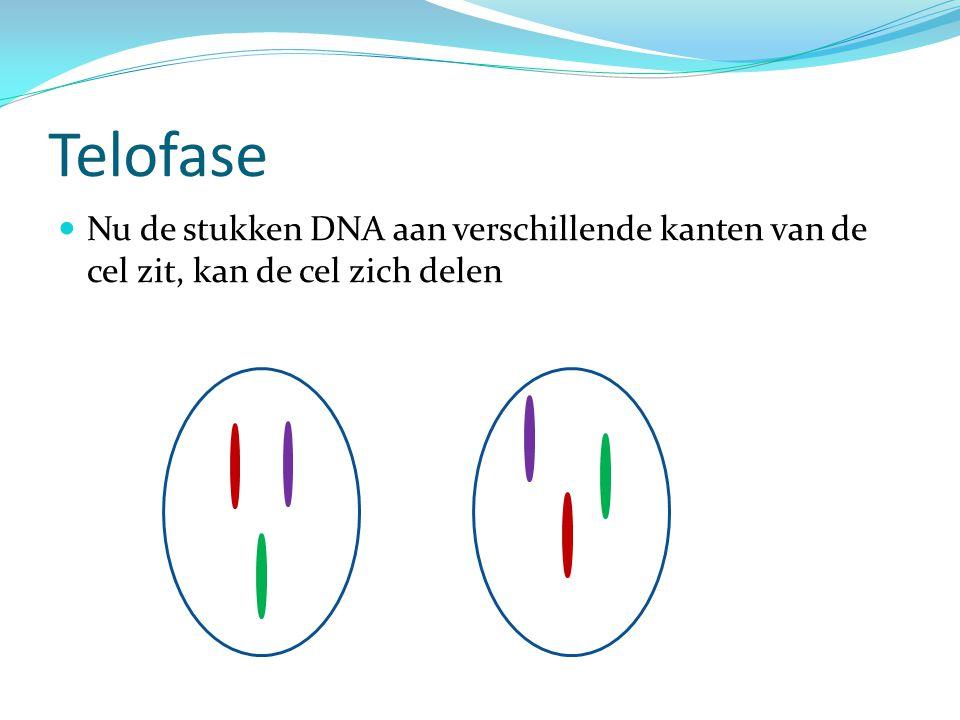 Telofase Nu de stukken DNA aan verschillende kanten van de cel zit, kan de cel zich delen