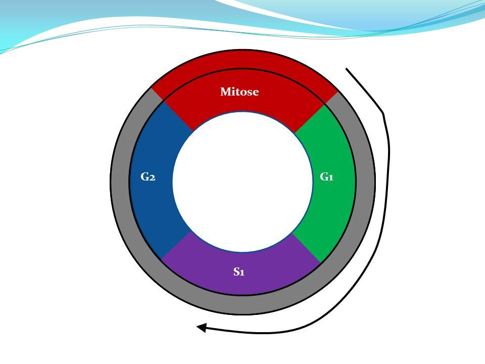 Mitose G2 G1 S1