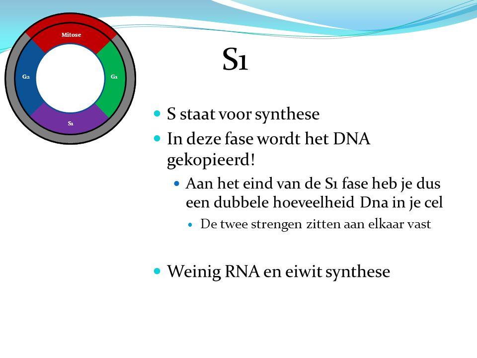 S1 S staat voor synthese In deze fase wordt het DNA gekopieerd!