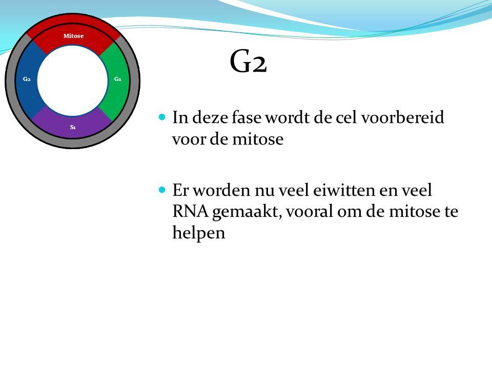 G2 In deze fase wordt de cel voorbereid voor de mitose