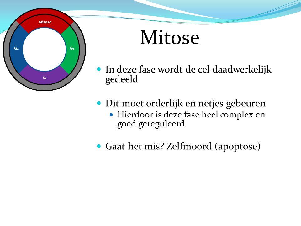 Mitose In deze fase wordt de cel daadwerkelijk gedeeld