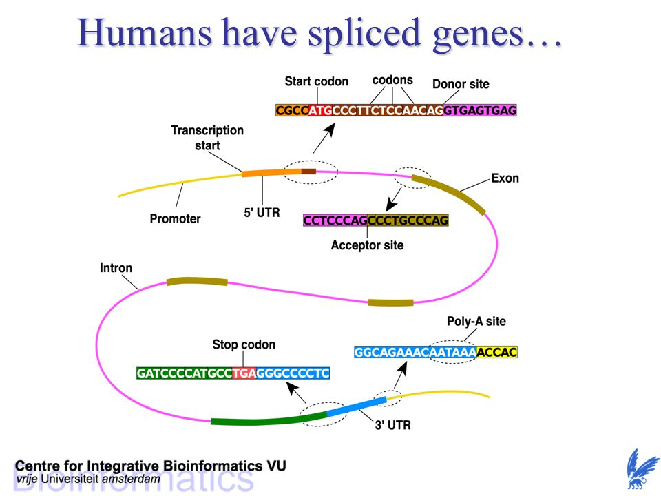 Humans have spliced genes…