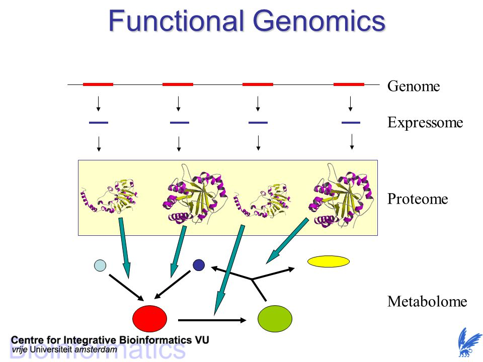 Functional Genomics Genome Expressome Proteome Metabolome