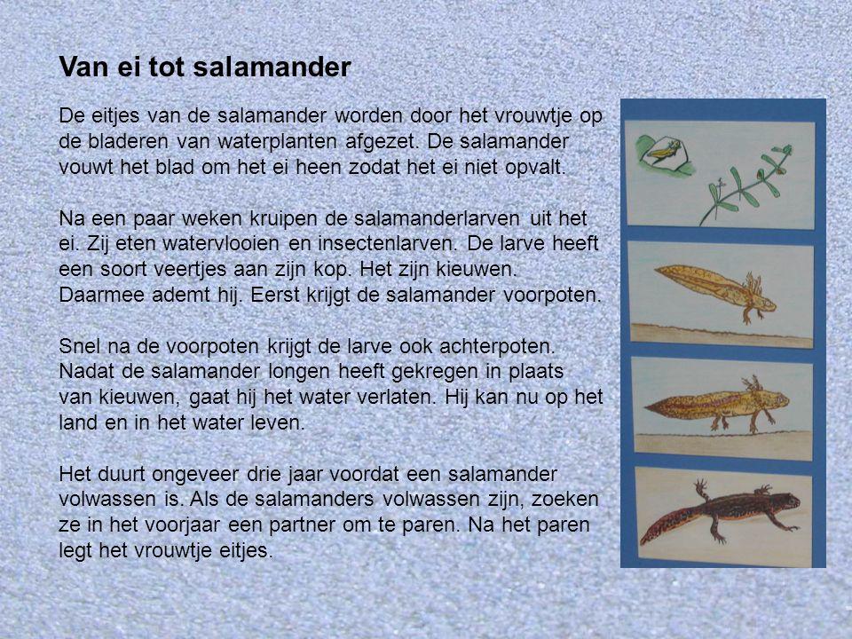 Van ei tot salamander