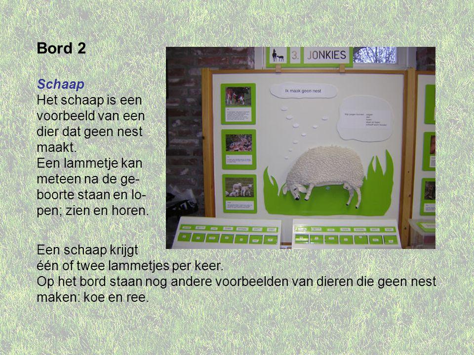 Bord 2 Schaap Het schaap is een voorbeeld van een dier dat geen nest maakt. Een lammetje kan meteen na de ge- boorte staan en lo- pen; zien en horen.