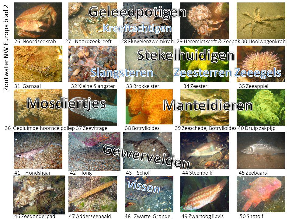 Slangsteren Zeesterren Zeeegels