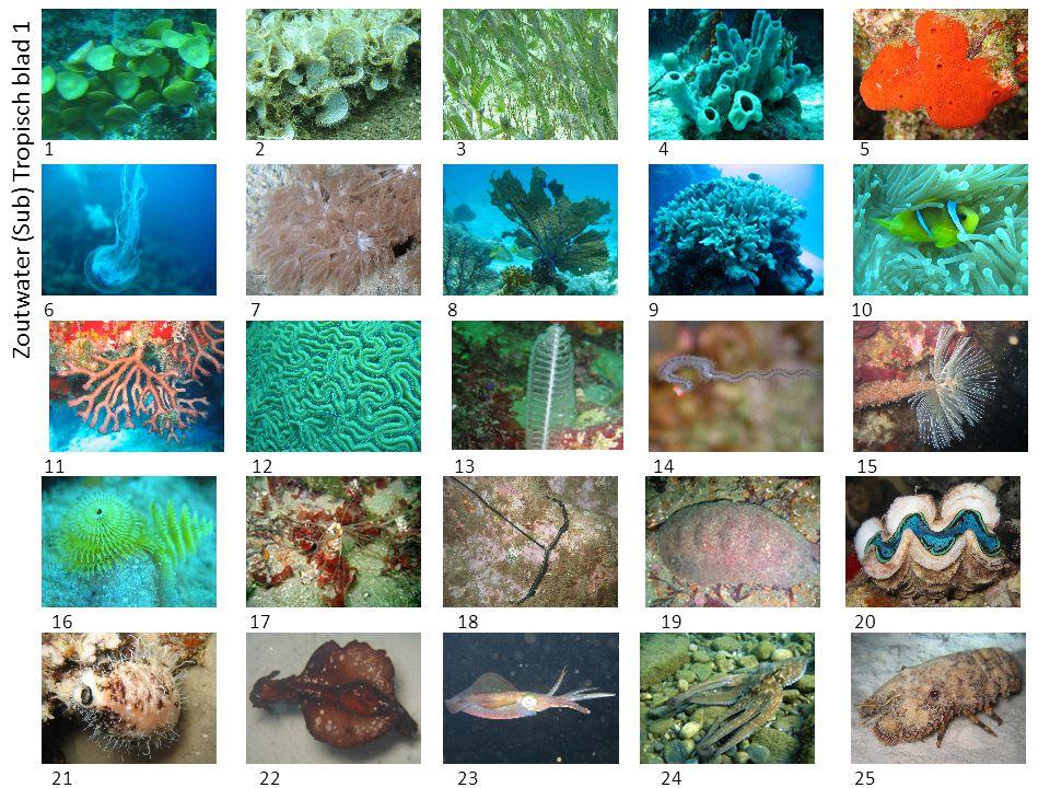 Zoutwater (Sub) Tropisch blad 1