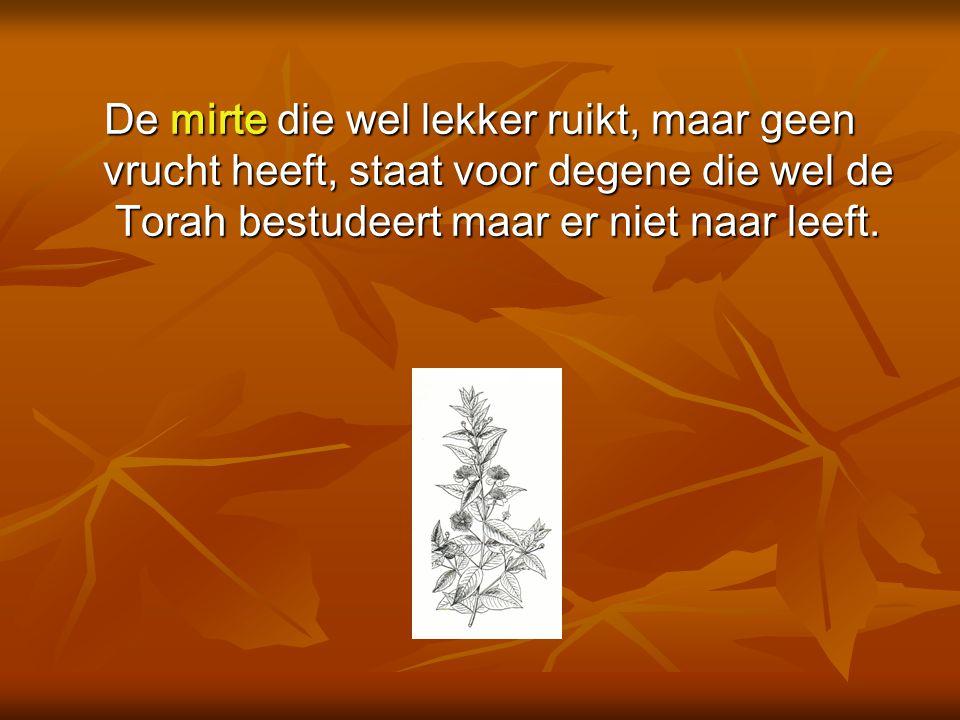 De mirte die wel lekker ruikt, maar geen vrucht heeft, staat voor degene die wel de Torah bestudeert maar er niet naar leeft.