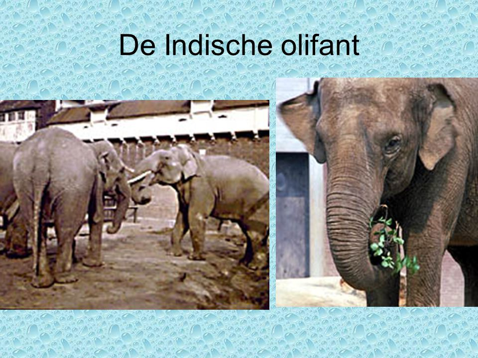 De Indische olifant