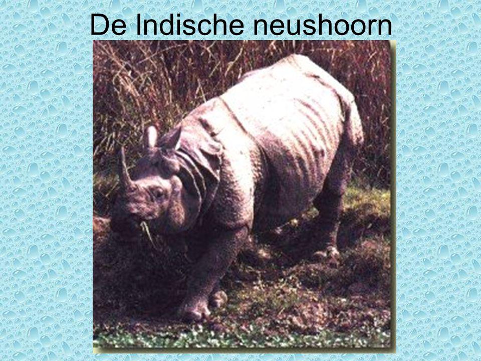 De Indische neushoorn