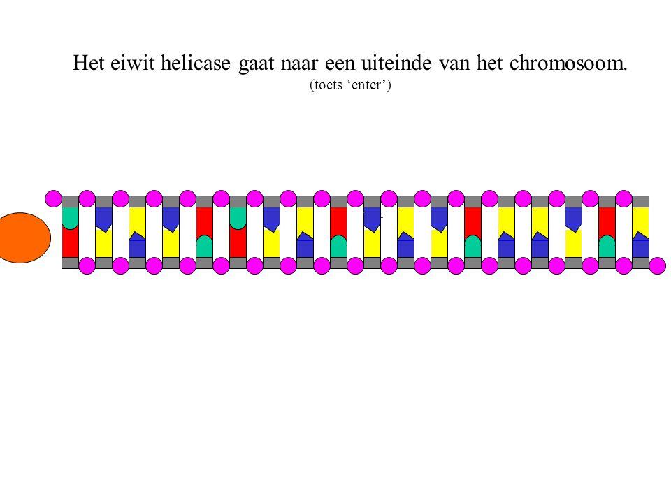 Het eiwit helicase gaat naar een uiteinde van het chromosoom.