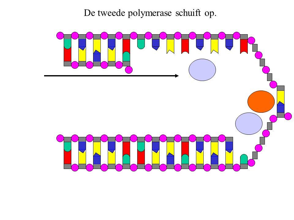 De tweede polymerase schuift op.