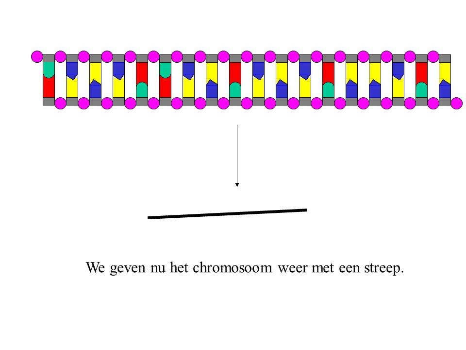 We geven nu het chromosoom weer met een streep.